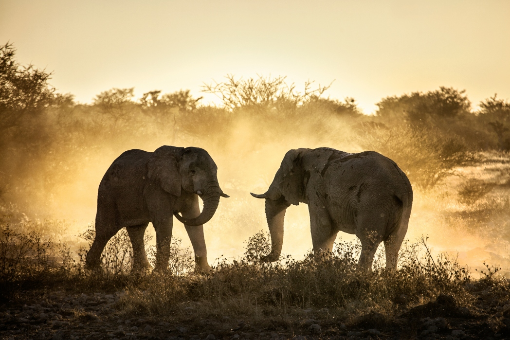 Elephants at sunset in South Africa