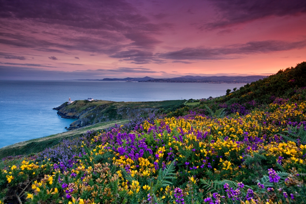 Flower blossoms under purple skies in the Howth Head peninsula, Dublin