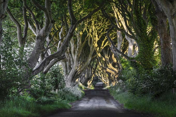 The avenue of beech trees, The Dark Hedges, Northern Ireland