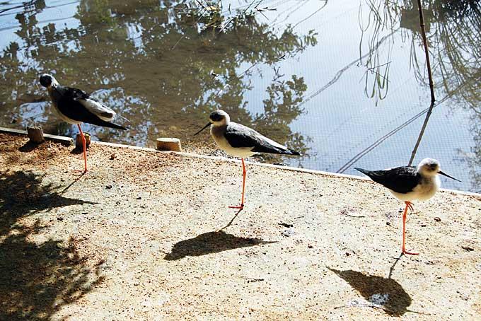 black-winged stilts, Parc des Oiseaux, Villars les Dombes